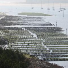 Ostréiculture dans le Golfe du Morbihan